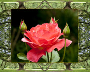 Flower Photos Posters - Oak Tree Rose Poster by Bell And Todd