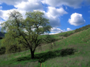Tree Greeting Cards Posters - Oak Tree with Clouds Poster by Kathy Yates