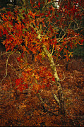 Waccamaw Posters - Oak Tree With Fall Foliage Standing Poster by Raymond Gehman