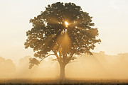 Niagara On The Lake Framed Prints - Oak Tree With Sun Rays Framed Print by Cosmo Condina