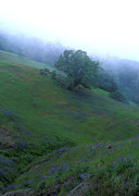 Landscape Greeting Cards Metal Prints - Oak with Lupine in Fog Metal Print by Kathy Yates