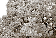 Grey Art - Oaks by Frank Tschakert