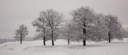 Wintry Photo Prints - Oaks in winter Print by Gabriela Insuratelu