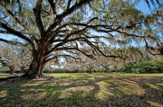 Avery Photos - Oaks of Avery Island by Bonnie Barry