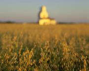 Oat Photos - Oat Field And Silo At Sunrise, Meacham by Yves Marcoux