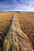 Oat Prints - Oat Harvest Print by David Nunuk