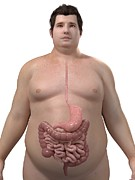 Obese Prints - Obese Mans Digestive System, Artwork Print by Sciepro