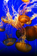 Medusa Metal Prints - Ocean Jellyfish Metal Print by Anthony Citro