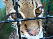 Photogrpah Posters - Ocelot in captivity Poster by Issa  Yattassaye