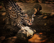 Cat Photo Framed Prints - Ocelot Framed Print by Jai Johnson