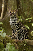 Felidae Photos - Ocelot Leopardus Pardalis Standing by Pete Oxford