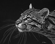 Scratchboard Drawings - Ocelot by Sheryl Unwin
