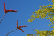 Phoenix Flowers Photos - Ocotillo and Palo Verde Blooms Waving in the Wind by James Bo Insogna