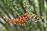 Kelley King Prints - Ocotillo Buds Print by Kelley King
