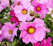 Decor.pink.green Flowers Posters - October Cosmos Poster by Cathie Tyler