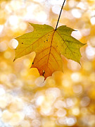 October Maple Leaf Print by Angie Rea
