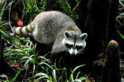 Raccoon Digital Art - October Raccoon I by Sheri McLeroy