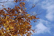 Fall Photos Prints - October Sky Beech Print by Randy Bodkins
