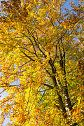 Baum Posters - October tree - golden and yellow fall colors  Poster by Matthias Hauser