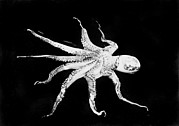 Arms Outstretched Photos - Octopus, Photograph Circa 1898-1916 by Everett