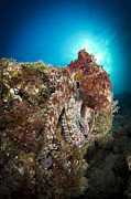 La Paz Prints - Octopus Posing On Reef, La Paz, Mexico Print by Todd Winner