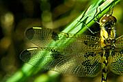 Dragonfly Eyes Posters - Odanate Wing Poster by Douglas Barnett