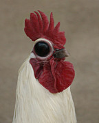 Roosters Photos - Odd Ball by Ernie Echols