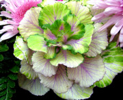 Lettuce Digital Art Framed Prints - Of Cabbages and Pinks Framed Print by Mindy Newman