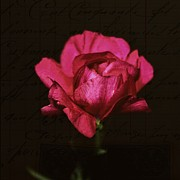 Carnations Photos - Of the past by Cathie Tyler