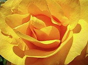 Flower Photographs Prints - OFFICE ART Prints Roses Orange Yellow Rose Flower 1 Giclee Prints Baslee Troutman Print by Baslee Troutman Office Art Collections