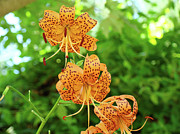 Lili Photos - OFFICE ART Prints TIGER LILIES Flowers Nature Giclee Prints Baslee Troutman by Baslee Troutman Fine Art Prints Collections