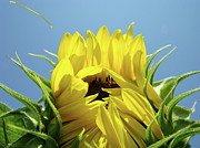 Sunflower Art Posters - OFFICE ART Sunflower Opening Summer Sun Flower Baslee Troutman Poster by Baslee Troutman Fine Art Prints Collections