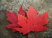 Leaves Digital Art Originals - Oh Canada by Reb Frost