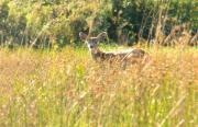 Fawn Photos - Oh Deer by David  Naman