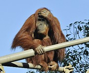 Orangutan Photos - Oh Goodness by Martina Thompson