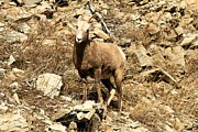 Big Horn Sheep Photos - Oh Really? by Adam Jewell