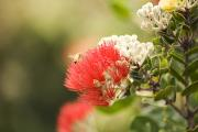 Beautiful Landing Prints - Ohia Lehua and Bee Print by Ron Dahlquist - Printscapes