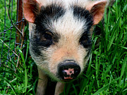 Potbelly Pig Framed Prints - Oink-ing it up... Framed Print by Elizabeth Gray