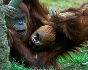Sumatran Orangutan Posters - OK - OK just one more hug...... Poster by Carl Jackson