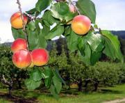 Okanagan Apricots Print by Will Borden