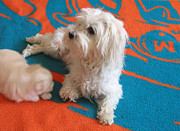 White Maltese Photos - Okay by Marlene Robbins