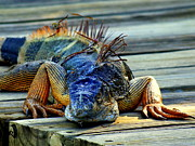 Iguana Acrylic Prints - Old And Weary Acrylic Print by Karen Wiles