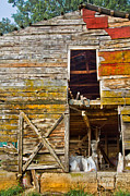 Tennessee Farm Posters - Old Barn Door Poster by Debra and Dave Vanderlaan