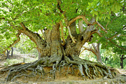Abstracts Photos - Old chestnut tree by Guido Montanes Castillo