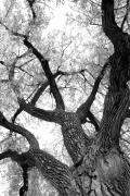 Lightning Fine Art Posters Posters - Old Cottonwood Tree Poster by James Bo Insogna