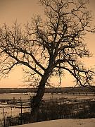 Keokuk Prints - Old Crooked Tree overlooking Mississippi River Print by Goldie Pierce