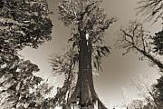 Sepia Acrylic Prints - Old Cypress Tree by Dustin K Ryan