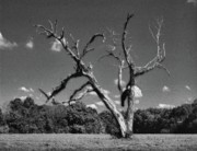 Alabama Posters - Old Dead Tree Poster by Michael Thomas