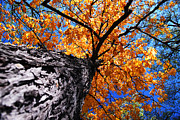 Outdoor Canopy Posters - Old elm tree in the fall Poster by Elena Elisseeva