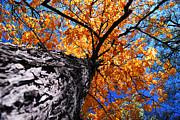 Old Elm Tree In The Fall Print by Elena Elisseeva